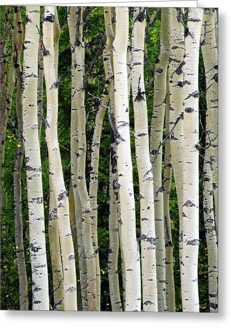 Aspen Tree Trunks, Healy, Alaska, Usa Greeting Card by Michel Hersen