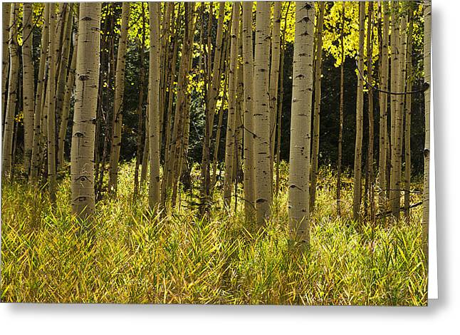 Aspen Trees All In A Row Greeting Card
