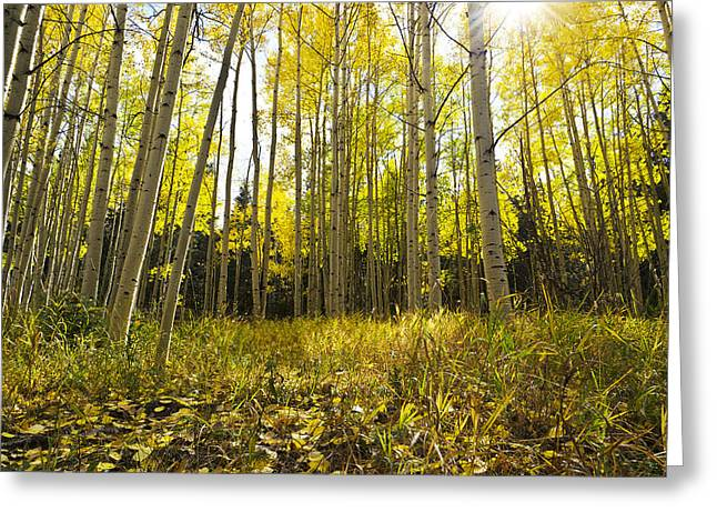 Aspen Trees Colorado Greeting Card