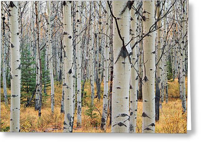 Aspen Trees In A Forest, Alberta, Canada Greeting Card