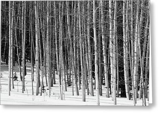 Aspen Trees In A Forest, Chama, New Greeting Card by Panoramic Images