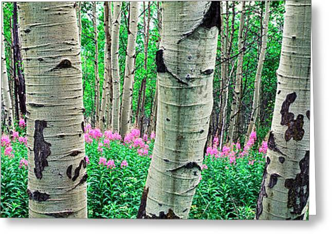 Aspen Trees In A Grove On The Slope Greeting Card by Panoramic Images
