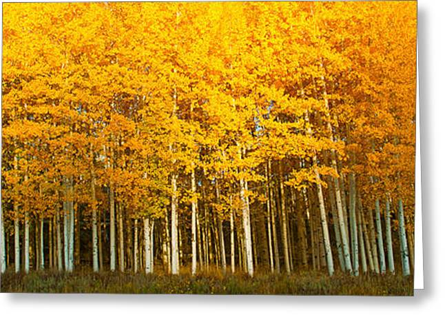 Aspen Trees In Autumn, Last Dollar Greeting Card by Panoramic Images