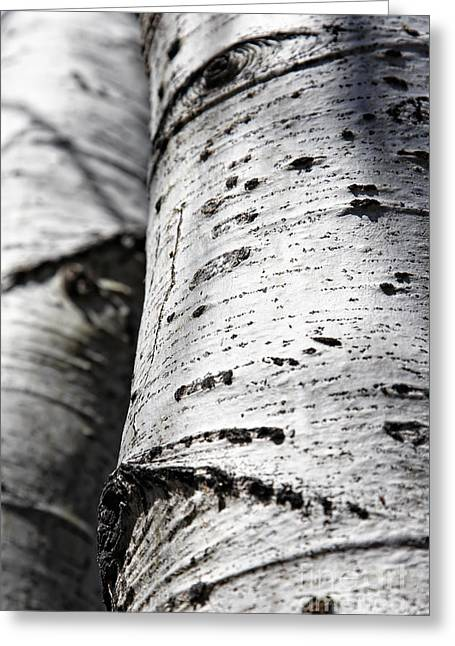 Greeting Card featuring the photograph Aspen Trunks In Light And Shadow by Lincoln Rogers