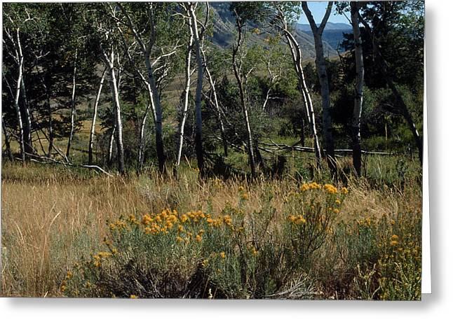 Aspen Yellowstone National Park Greeting Card by Harold E McCray