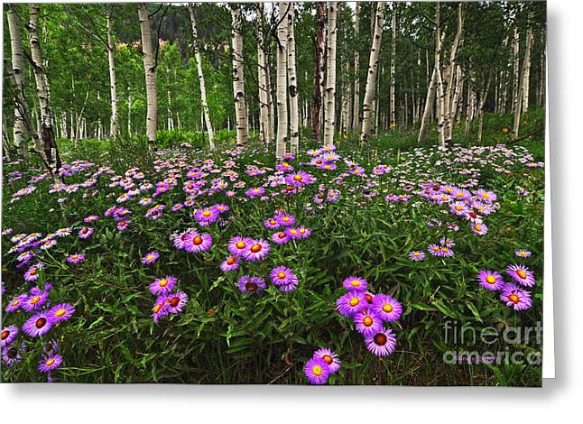 Aspens And Asters Greeting Card