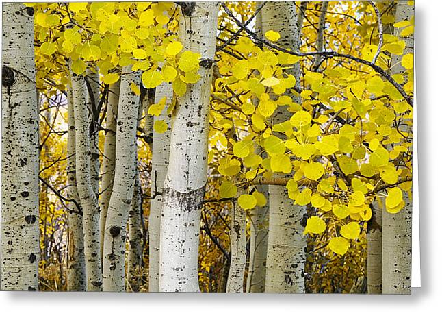 Aspens At Autumn Greeting Card by Andrew Soundarajan