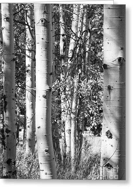 Aspens In B And W Greeting Card