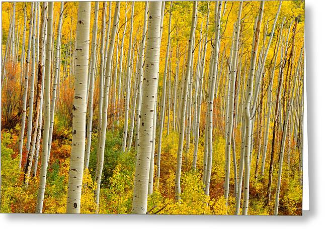 Aspens In The Colorado Rockies Greeting Card by John Hoffman