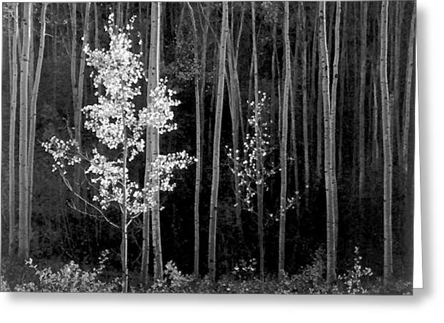 Aspens Northern New Mexico Greeting Card by Ansel Adams