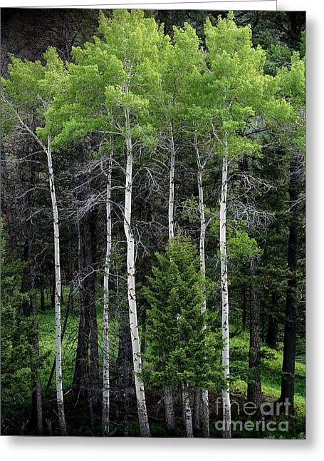 Aspens Of Yellowstone Greeting Card