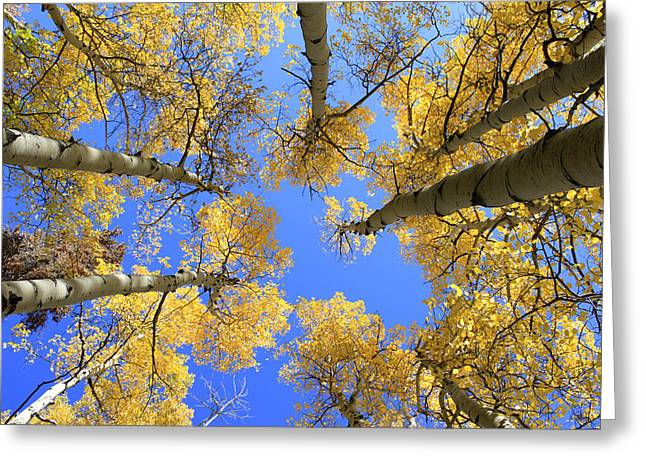 Aspens Skyward Greeting Card by John Daly