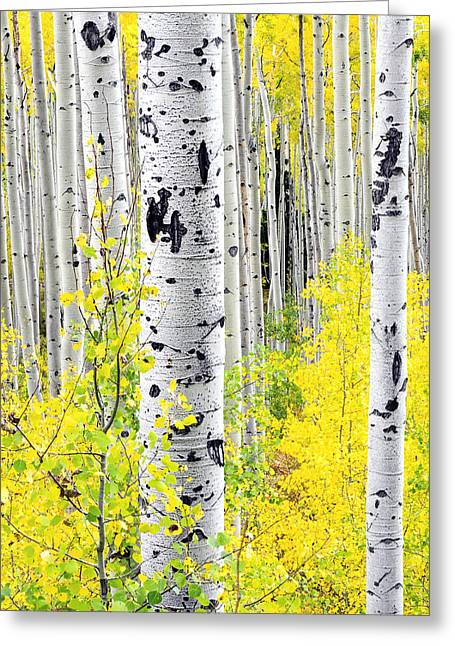 Aspens   Greeting Card by The Forests Edge Photography - Diane Sandoval