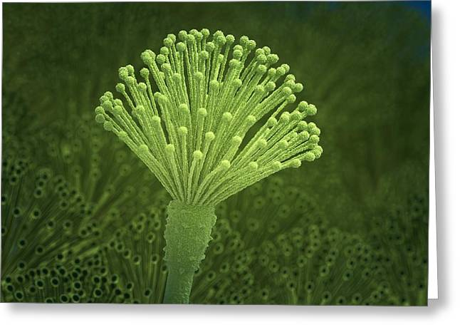 Aspergillus Fungus, Artwork Greeting Card by Science Photo Library