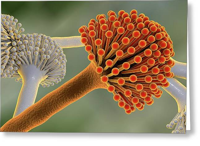 Aspergillus Greeting Card