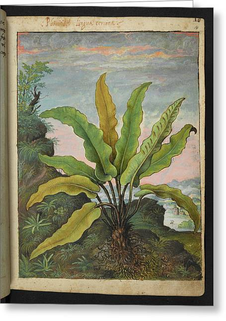 Asplenium Scolopendrium Greeting Card by British Library