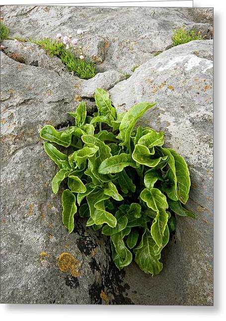 Asplenium Scolopendrium On Limestone Greeting Card by Bob Gibbons
