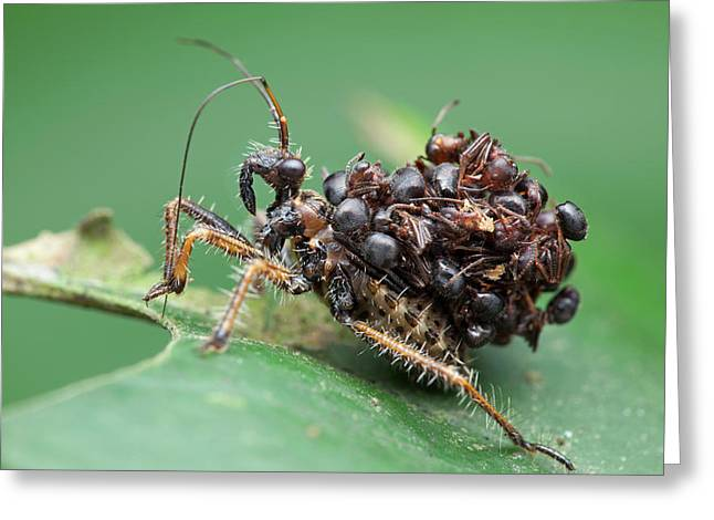 Assassin Bug Nymph With Ants Greeting Card by Melvyn Yeo