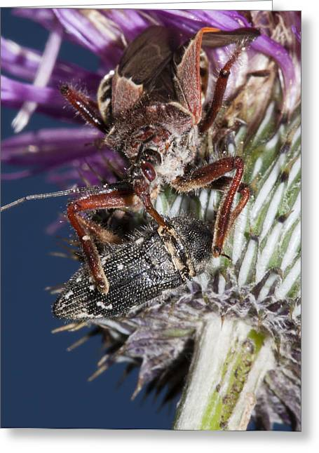 Assassin Bug Preying On Beetle Greeting Card
