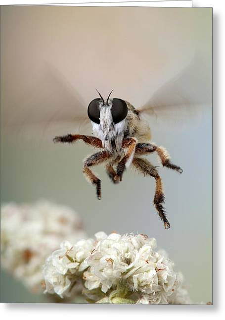 Assassin Fly Leaving Buckwheat Blossoms Greeting Card by Robert Jensen