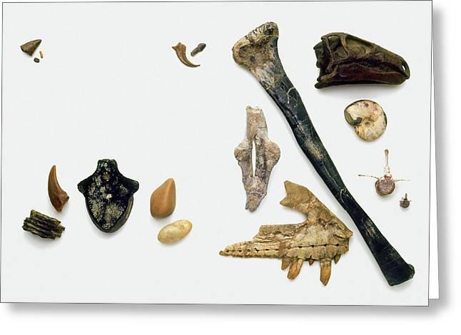 Assorted Fossilised Bones And Shells Greeting Card by Dorling Kindersley/uig