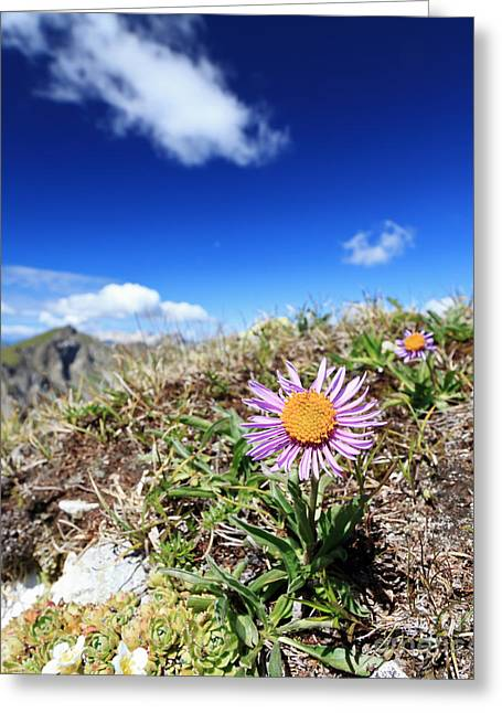 Aster Alpinus Greeting Card by Antonio Scarpi