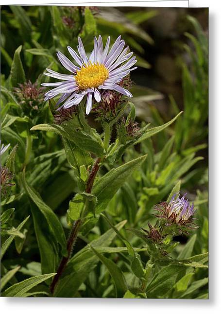 Aster Pyrenaeus In Flower Greeting Card by Bob Gibbons