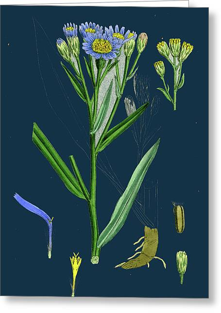 Aster Tripolium Sea-side Aster Greeting Card by English School