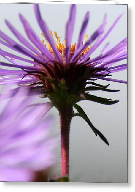 Aster Umbrella Greeting Card by Neal Eslinger