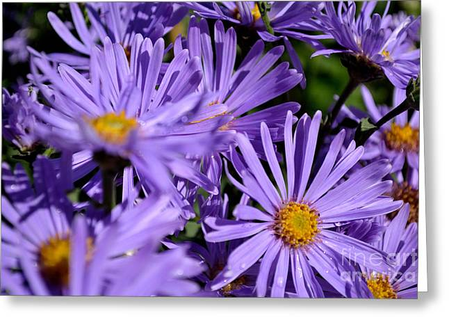 Greeting Card featuring the photograph Asters After The Rain by Scott Lyons