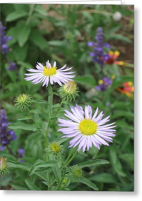Asters In Close-up Greeting Card