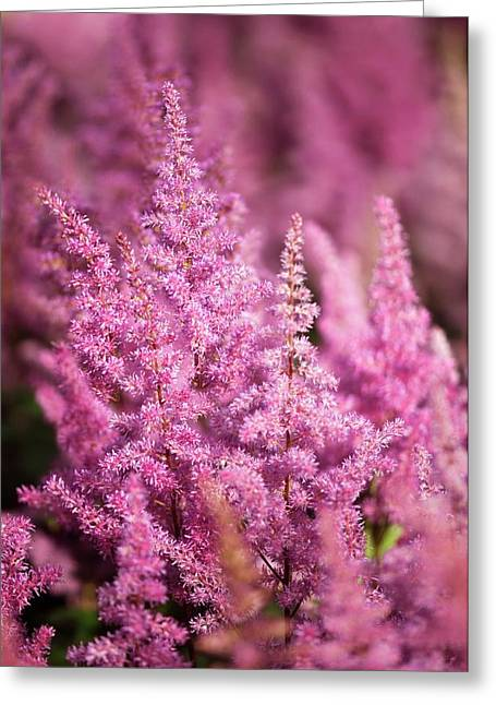 Astilbe Chinensis 'vision In Pink' Greeting Card by Maria Mosolova