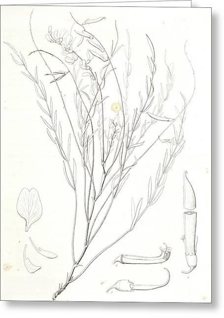 Astragalus Homalobus Serotinus, 1. Vexillum , Wing Greeting Card