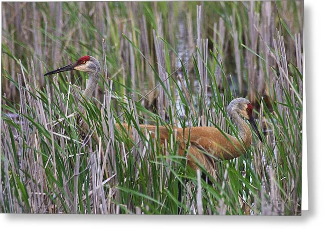 Greeting Card featuring the photograph At Home In The Marsh by Gary Hall