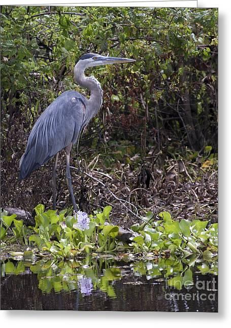 Atchafalaya Swamp Blue Heron Greeting Card