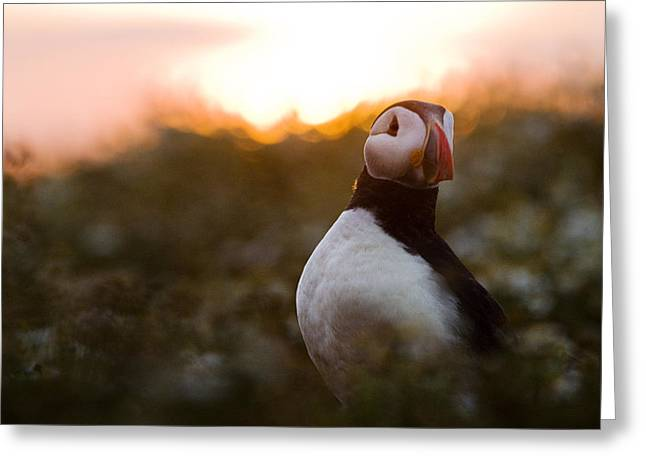 Atlantic Puffin At Sunrise Skomer Greeting Card