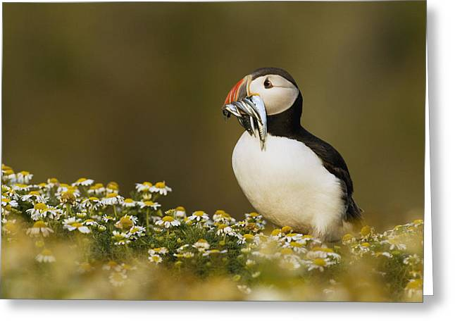 Atlantic Puffin Carrying Fish Skomer Greeting Card