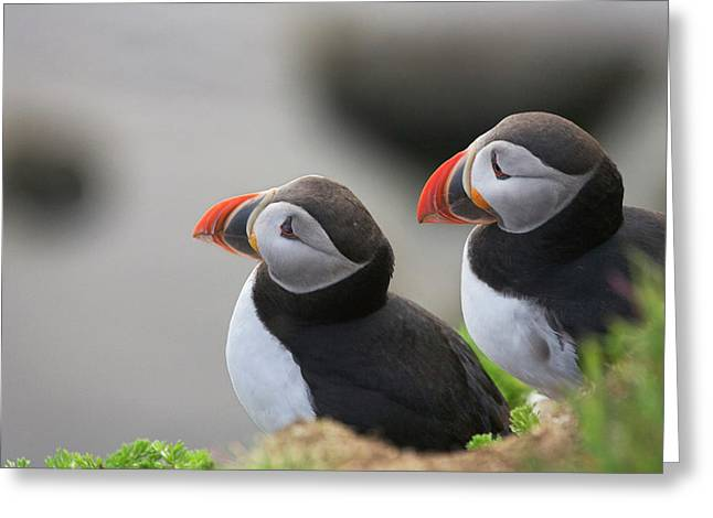Atlantic Puffin (fratercula Arctica Greeting Card by Keren Su