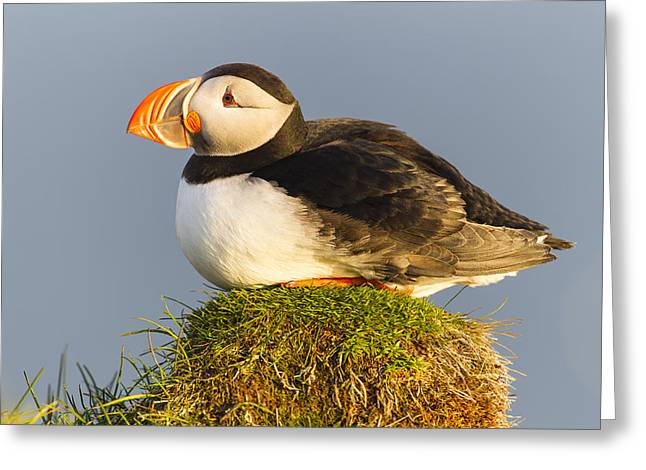 Atlantic Puffin Iceland Greeting Card