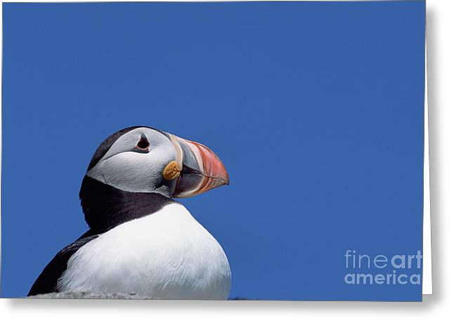 Atlantic Puffin In Breeding Colors Greeting Card by