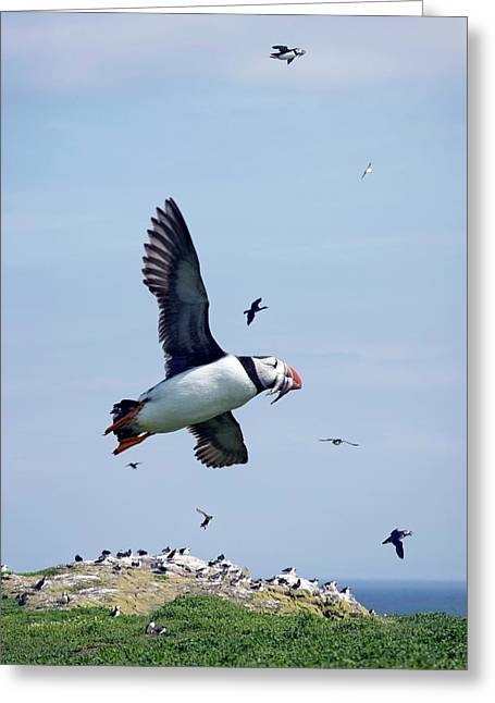 Atlantic Puffin In Flight Greeting Card by Steve Allen/science Photo Library