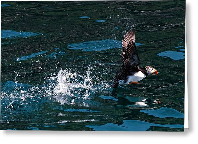 Atlantic Puffin Taking Off Greeting Card