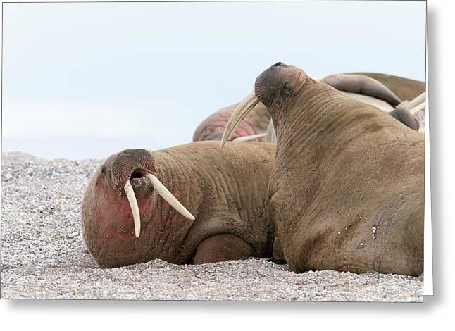Atlantic Walruses Greeting Card by Dr P. Marazzi