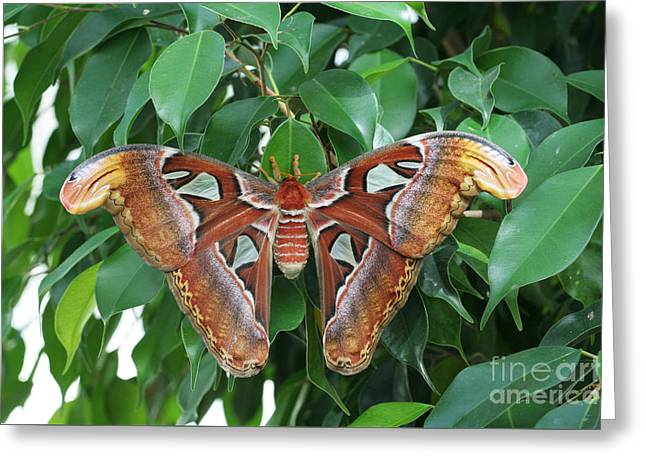 Greeting Card featuring the photograph Atlas Moth #2 by Judy Whitton