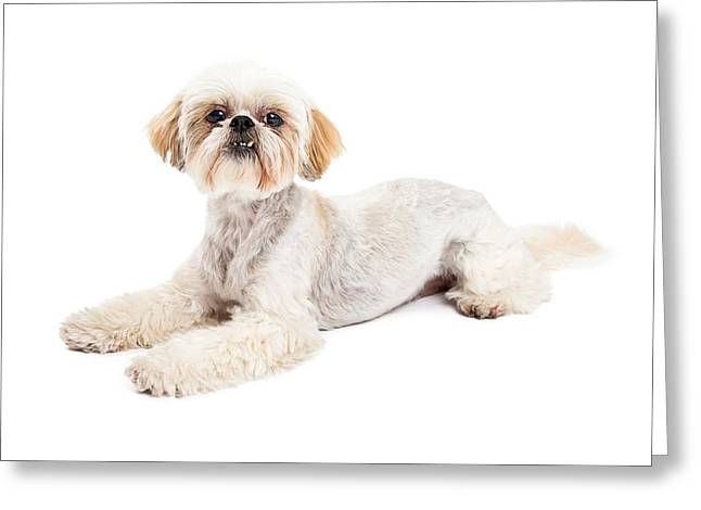 Attentive Maltese And Poodle Mix Dog Laying Greeting Card