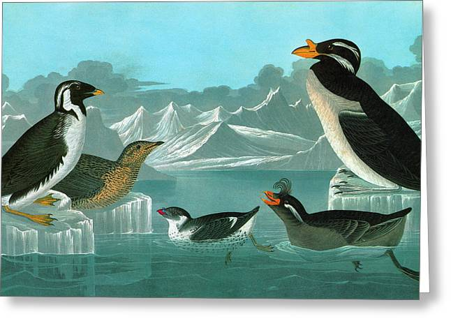 Audubon Auks Greeting Card