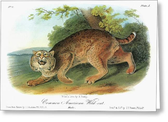 Audubon Bobcat Greeting Card by Granger