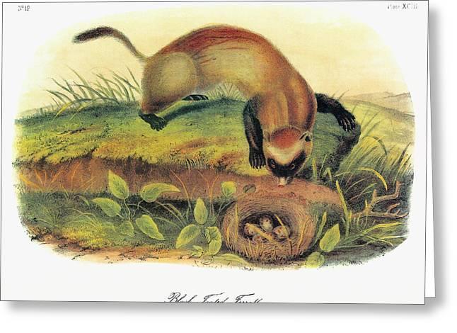 Audubon Ferret Greeting Card