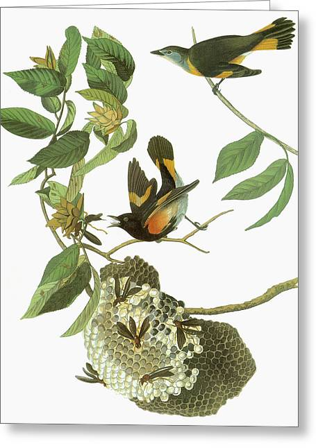 Audubon Redstart Greeting Card