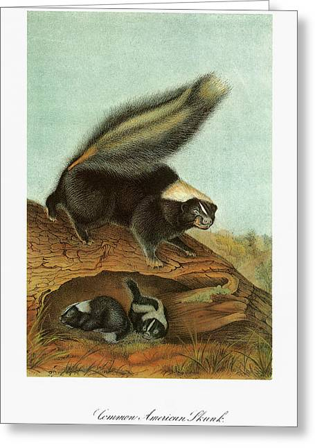 Audubon Skunk Greeting Card